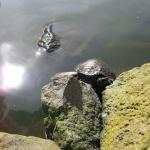 Sun bathing turtles in Golden Gate Park