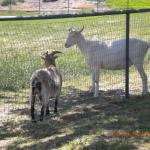 Goats hangin' out