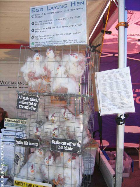Caged Egg Laying Hen Display