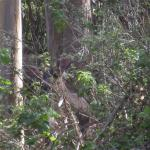 Deer camoflauged at San Pedro Valley Park, Pacifica