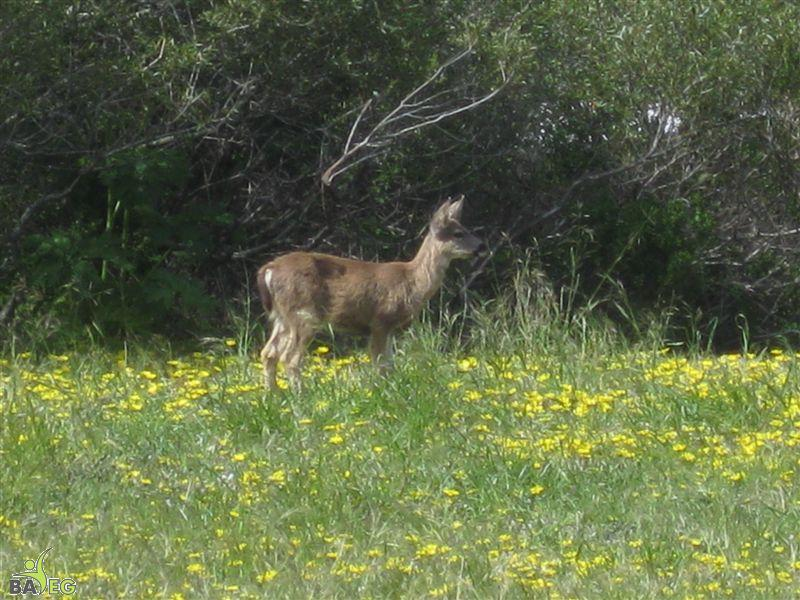 Deer at San Pedro Valley Park, Pacifica