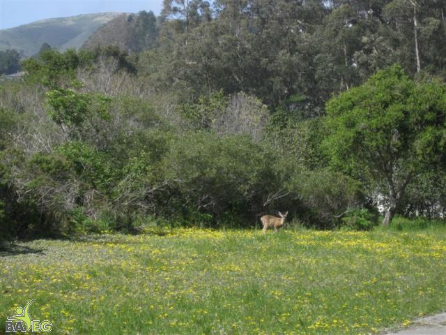 Deer enjoying sun and grass at San Pedro Valley Park, Pacifica