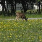 Deer grazing at San Pedro Valley Park, Pacifica